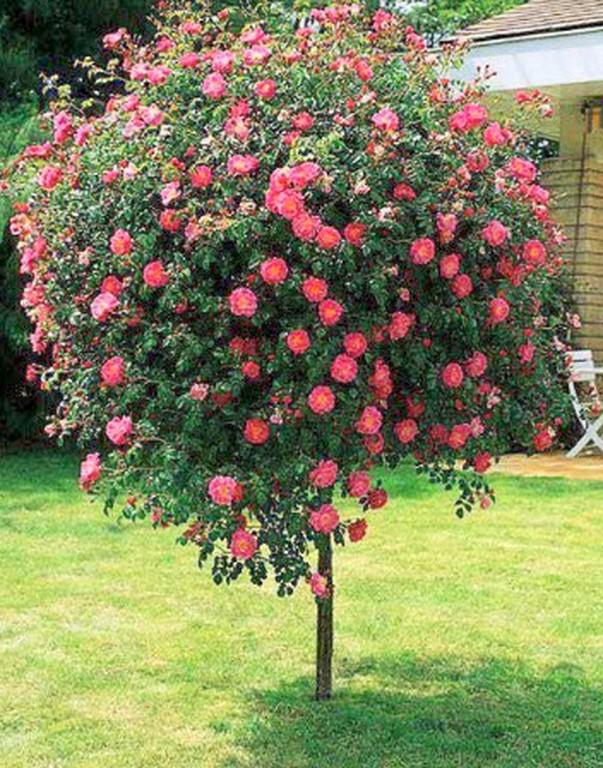Arbustos viveros santa ana for Arboles ornamentales jardin